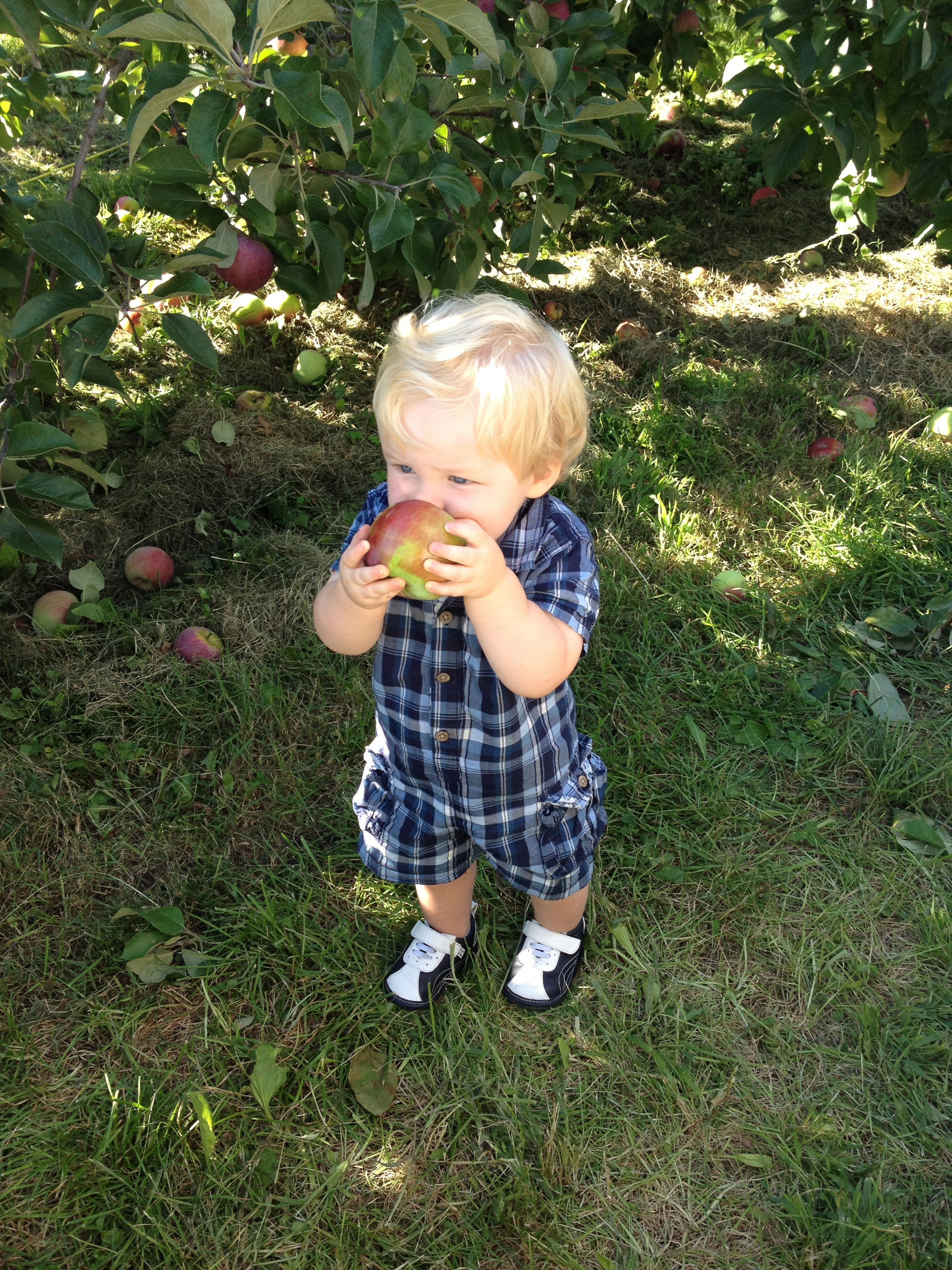 Toddler Eating Apple Off Tree