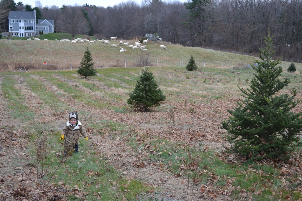 Toddler Outside with Sheep at Christmas Tree Farm